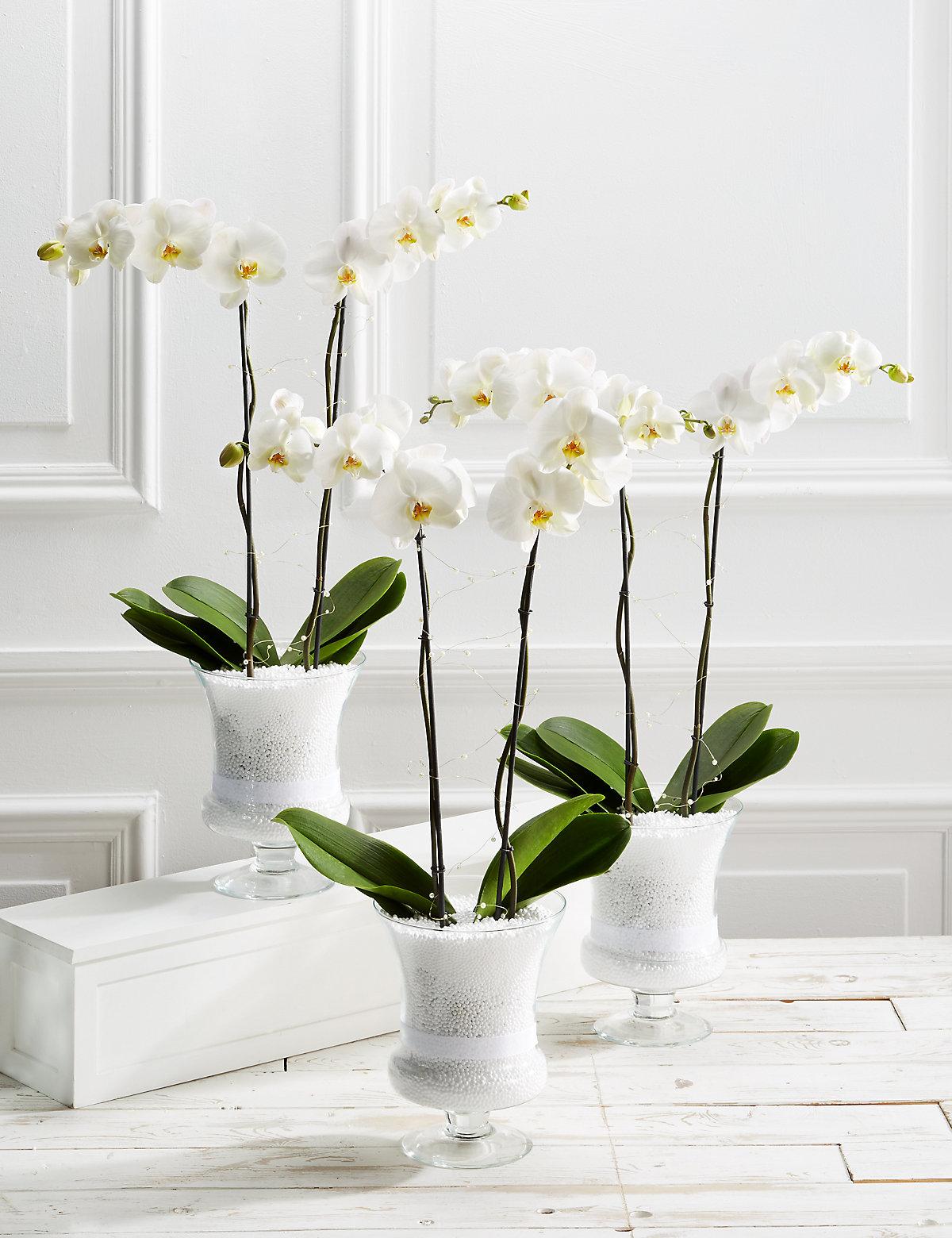 Majestic Pure Celebration Orchid Trio