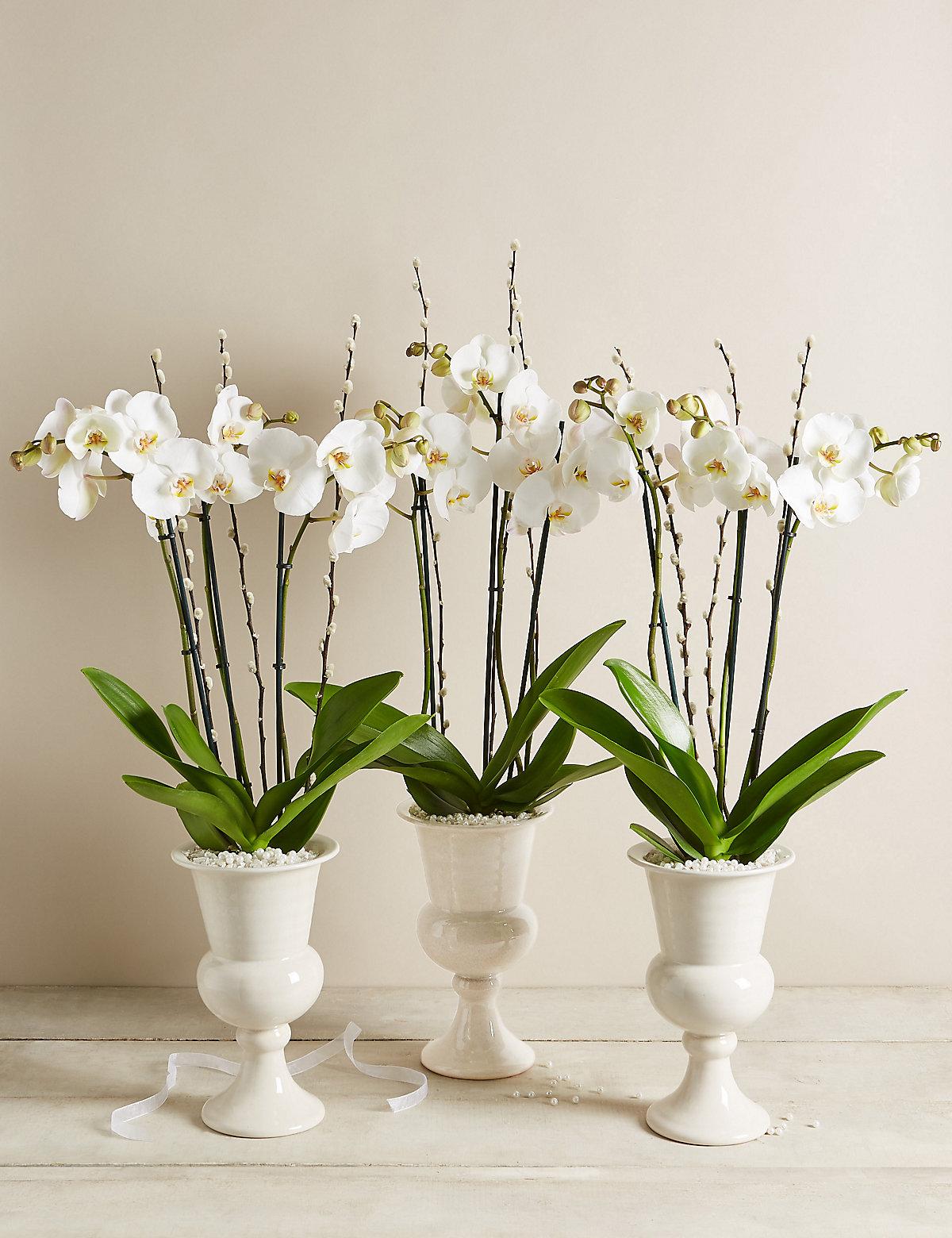 Ivory Celebration Orchid Trio