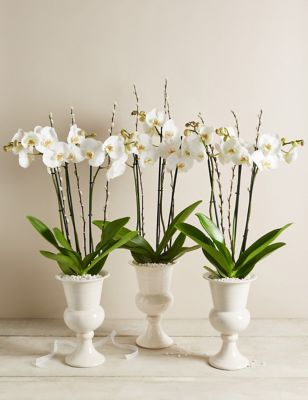 Ivory Celebration Orchid Trio