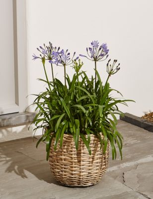 Marks and spencer flowers flowers online flowers delivered uk agapanthus patio basket pre order available from 6th june 2018 izmirmasajfo Images