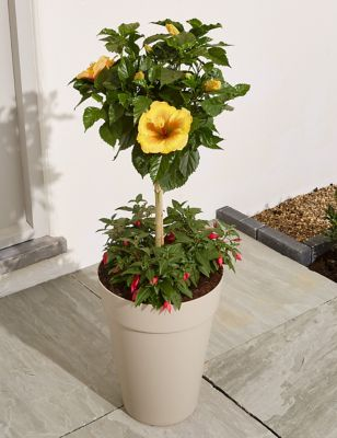 Underplanted Hibiscus Tree Send Flowers Free Delivery