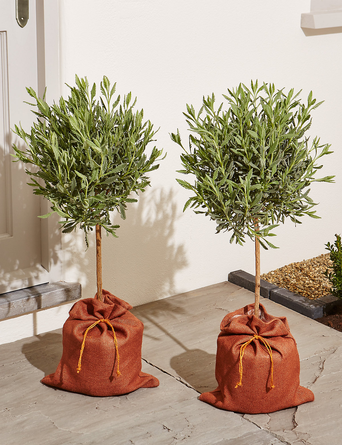 Pair of Standard Lavender Trees