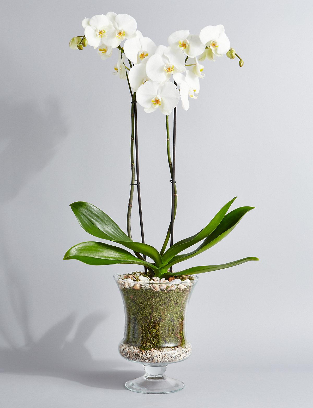 Autograph Grandiflora Orchid