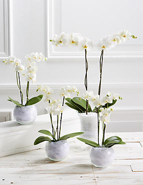 Pure Celebration Orchid Collection