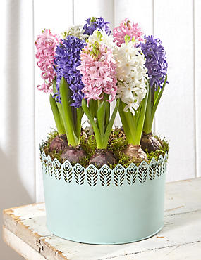 Mother's Day Pastel Hyacinth Tin (Pre Order)