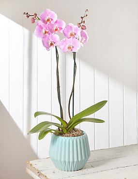 Mother's Day Extra Tall Pink Orchid (Pre Order)