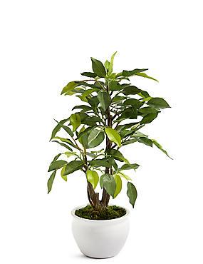 Ficus in keramische pot, , catlanding