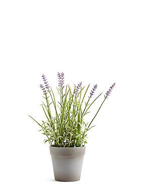 Lavendelpflanze, , catlanding