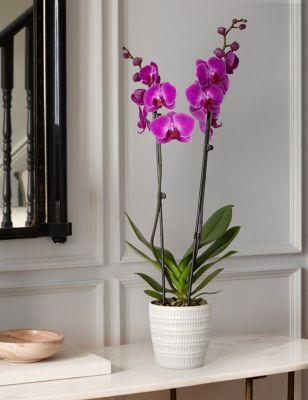 Twin Stem Purple Orchid