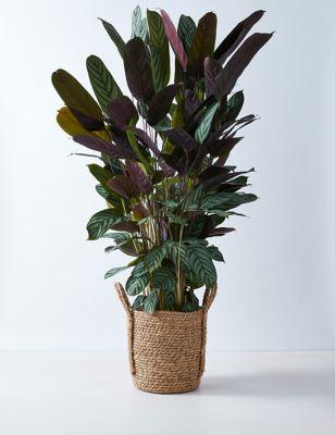 Large Calathea Planter