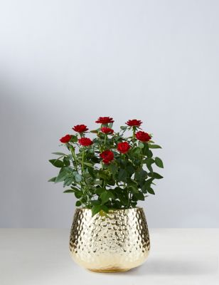 Christmas Red Rose with Ceramic Pot (Delivery from 9thNovember2021)