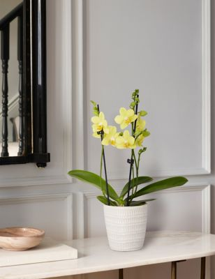 Yellow Miniature Phalaenopsis Orchid Ceramic