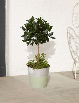 Underplanted Bay Tree with Herbs
